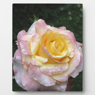 Single yellow rose flower with water droplets plaque