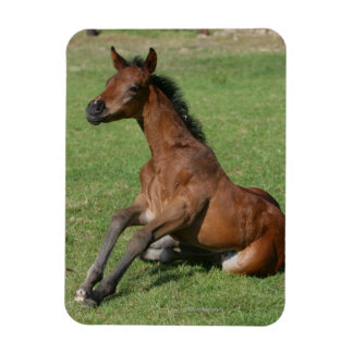 Sitting Arab Foal Rectangular Photo Magnet