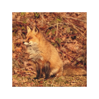 Sitting fox in afternoon sunlight canvas print