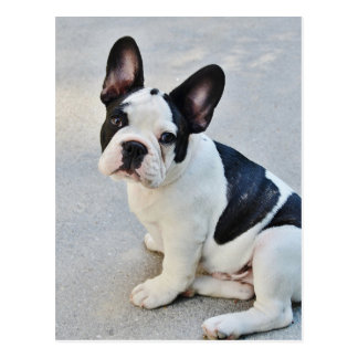 sitting french bulldog postcard