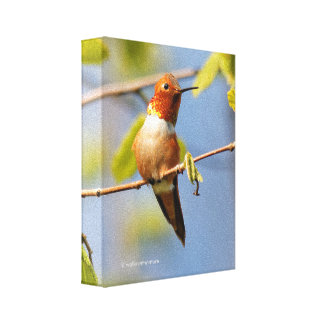 Sitting Pretty: Male Rufous Hummingbird Canvas Print