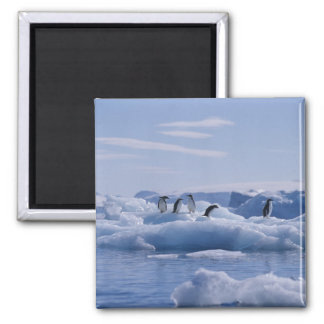 Six Adelie Penguins Pygoscelis adeliae) on an Square Magnet