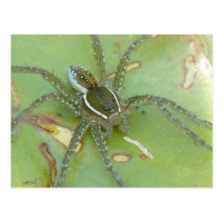 Six-spotted Fishing Spider Postcard
