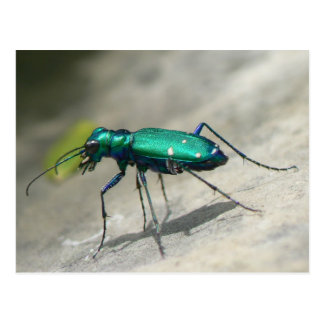 Six-spotted Tiger Beetle Postcard - Customized
