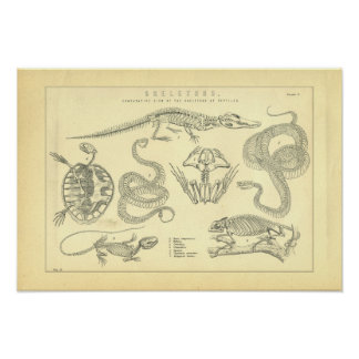 Skeletons of Reptiles Snake Turtle Frog Poster