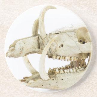 Skull of wild boar coasters