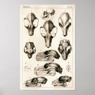 Skulls of Monkeys Bats Veterinary Anatomy Print