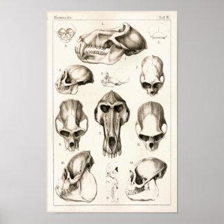 Skulls of Monkeys Veterinary Anatomy Print