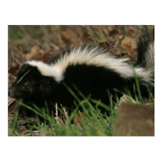 Skunk Behavior  Postcard