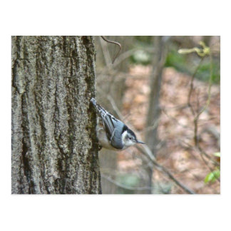 Slate Gray Nuthatch Songbird Coordinated Items Postcard