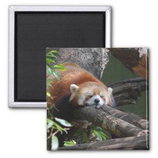 Sleeping Panda Bear  Magnet