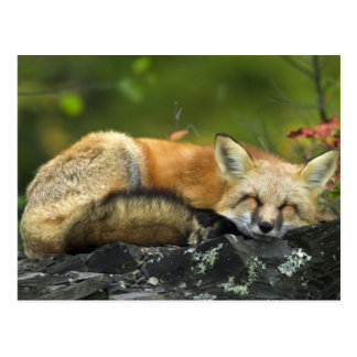 Sleeping Red Fox Postcard