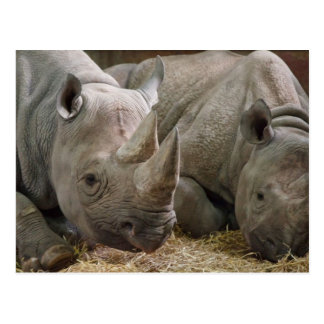 Sleeping Rhinos Postcard