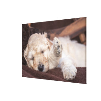 Sleeping Standard Poodle puppy Canvas Print