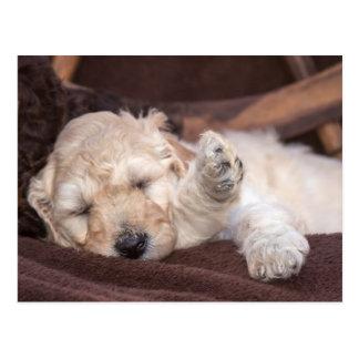 Sleeping Standard Poodle puppy Postcard