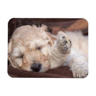 Sleeping Standard Poodle puppy Rectangular Photo Magnet