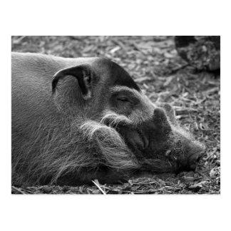 """""""Sleeping Vietnamese Hog"""" Postcard"""