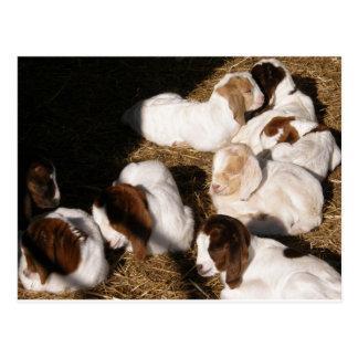 Sleepy Baby Goats Postcard