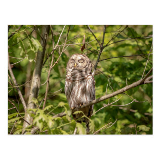 Sleepy Barred Owl Postcard