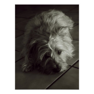 Sleepy cairn terrier poster