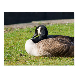 Sleepy Canada Goose Postcard