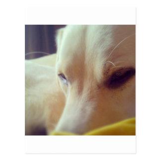 Sleepy Labrador Postcard