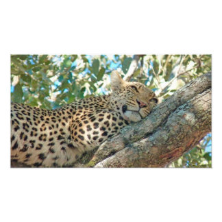 Sleepy Leopard Photo