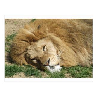 Sleepy lion postcard