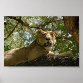 Sleepy Lioness Poster