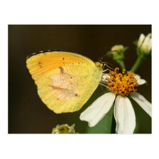 Sleepy Orange Butterfly Postcard