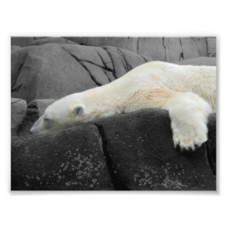 Sleepy Polar Bear Photo