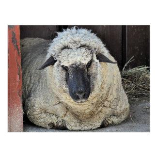 Sleepy Sheep Postcard