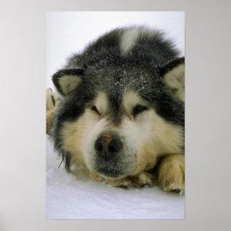 Sleepy sled dog print