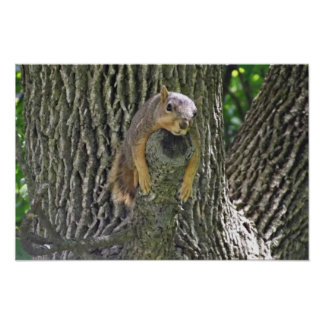 Sleepy Squirrel Cooling Off on a Tree Branch Poste Poster