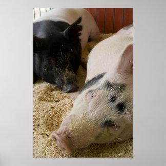 Sleepy Swine Poster