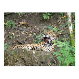Sleepy Tiger Yawns Postcard
