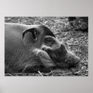 Sleepy Vietnamese Hog Print