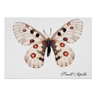 Small Apollo Butterfly Poster