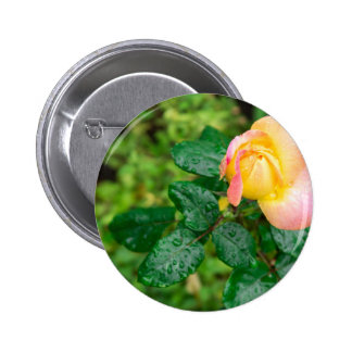 Small autumn rose with droplets 2 inch round button