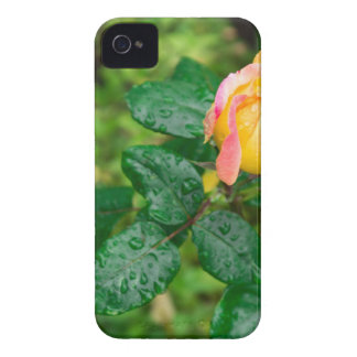 Small autumn rose with droplets iPhone 4 case