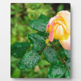 Small autumn rose with droplets plaque