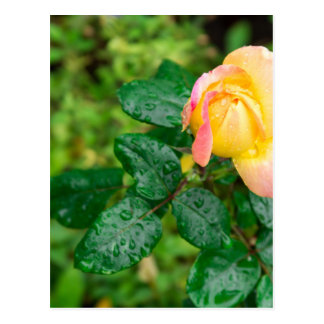 Small autumn rose with droplets postcard