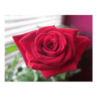 Small rose postcard