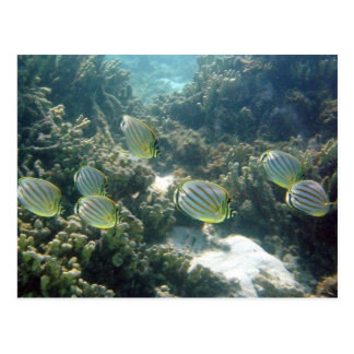 Small School of Butterfly Fish Postcard
