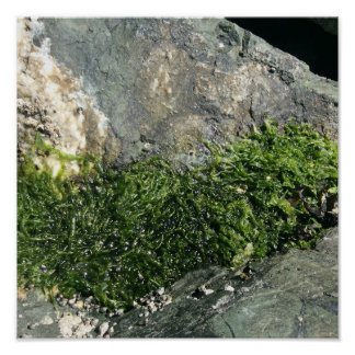 Small seaweed on a rock poster