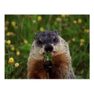 Smelling Spring Groundhog Postcard