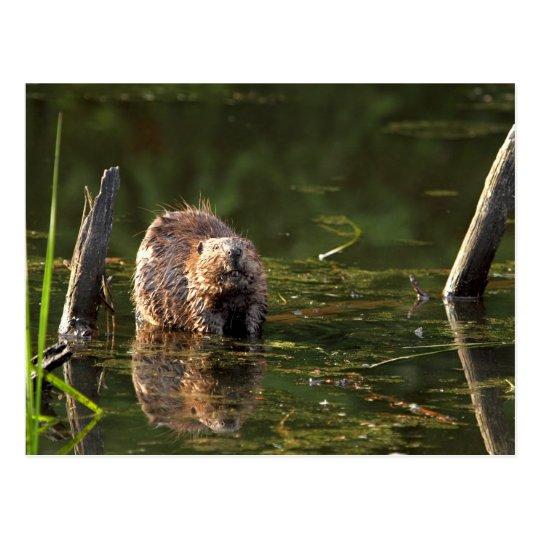 Smiling Beaver Postcard