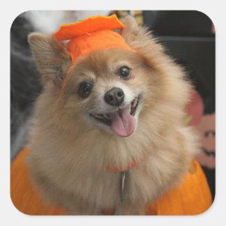 Smiling Foxy Pomeranian Puppy in Pumpkin Halloween Square Sticker