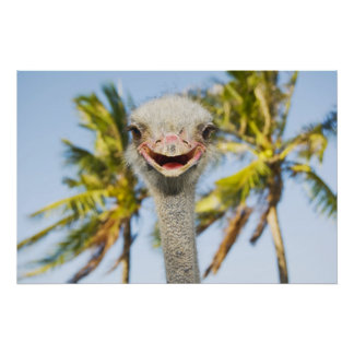Smiling Ostrich Poster