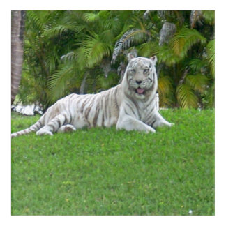 Smiling White Tiger and Palm Trees Acrylic Print